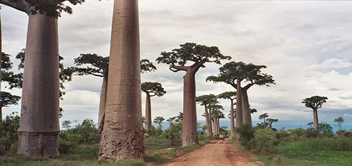 L'allée des baobabs. Crédit photo: Wikimedia - Pat Hooper from Chicago, IL, USA